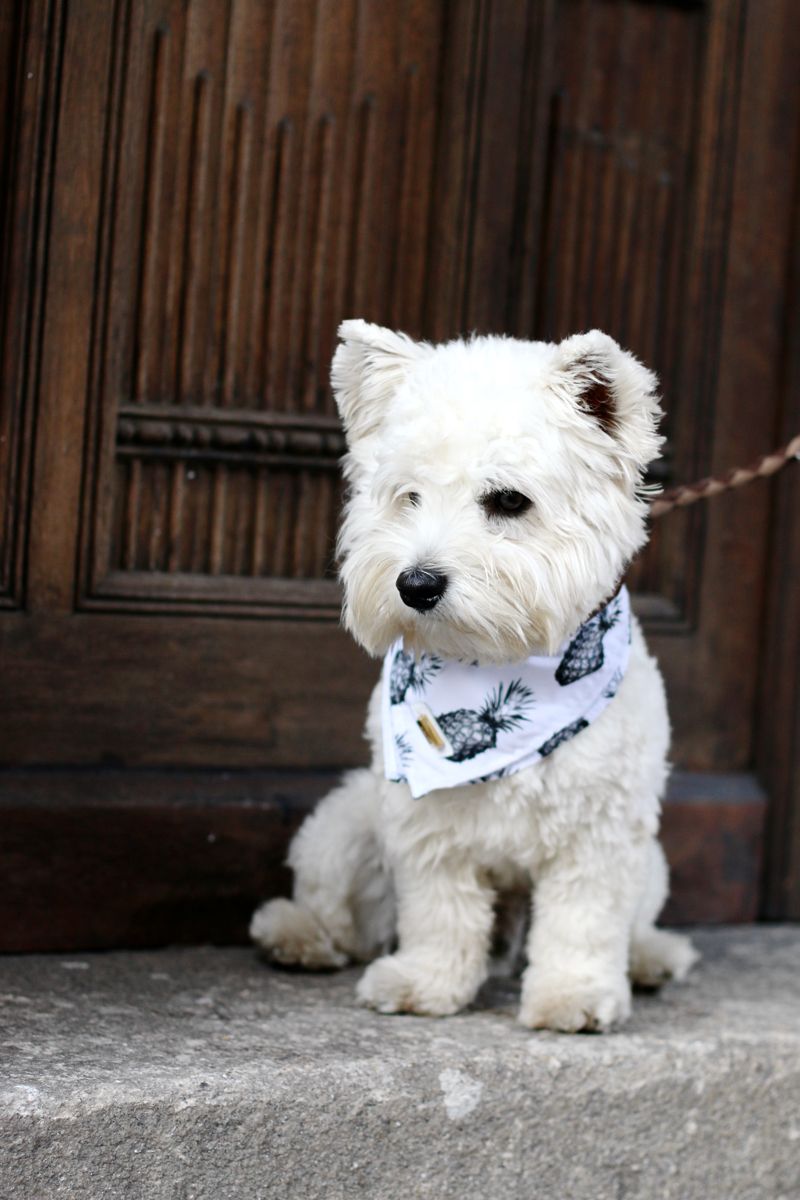 Wellington the Westie Pineapple Bandana